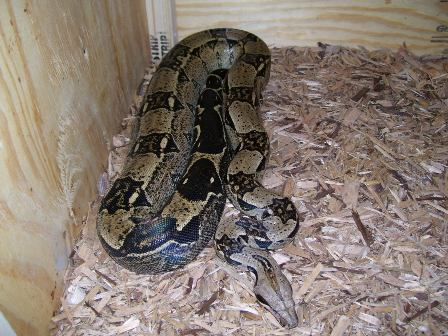 Colombian Red Tailed Boa Care Sheet | Exotic Reptiles