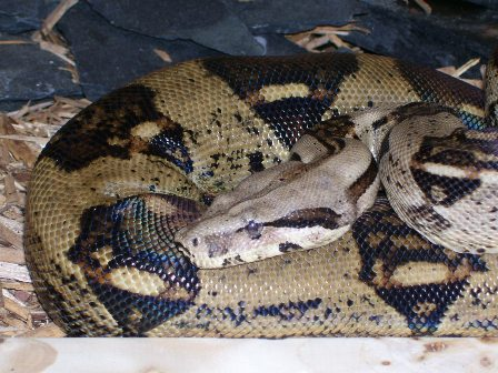 Colombian Red Tailed Boa Care Sheet   Exotic Reptiles