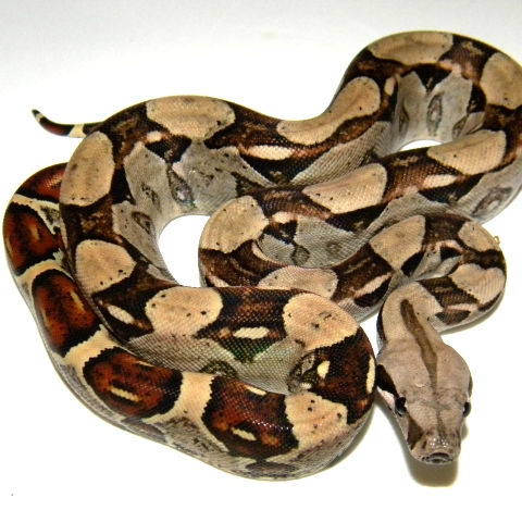 True Red Tail Boa Columbian Red Tail Boa